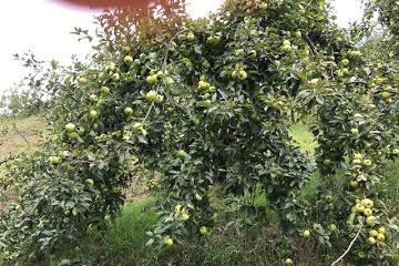 Convocatoria de ayudas 2018 para manzanos para sidra (Gipuzkoa)